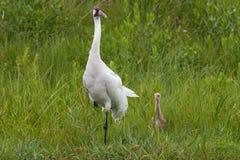 Американский журавль и цыпленок Стоковое Изображение RF