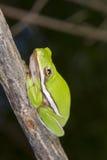 Американский зеленый портрет древесной лягушки (Hyla cinerea) Стоковые Изображения RF