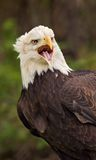 американский клекот облыселого орла Стоковое Изображение