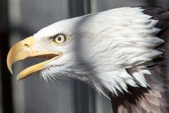 Американский конец белоголового орлана вверх по детали пера Стоковая Фотография RF