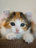 американский котенок скручиваемости Стоковая Фотография