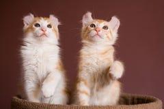 американский котенок скручиваемости Стоковое Изображение