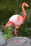 Американский красный фламинго. Грациозно птица. Стоковая Фотография RF