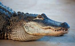 американский крокодил Стоковое Фото