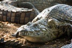 американский крокодил Стоковая Фотография RF