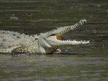 американский крокодил Стоковое Изображение RF