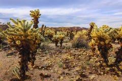 Американский ландшафт пустыни Кактусы в районе сада кактуса, национальный парк Cholla дерева Иешуа Стоковые Фотографии RF