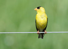 американский мужчина goldfinch Стоковые Изображения RF