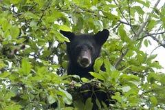 американский новичок черноты медведя Стоковое Изображение RF