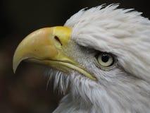 американский облыселый орел национальные США птицы Стоковое Фото