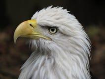 американский облыселый орел национальные США птицы Стоковые Фотографии RF