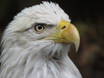 американский облыселый орел национальные США птицы Стоковое Изображение RF