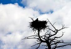 американский облыселый орел свое гнездй защищает Стоковое Изображение RF