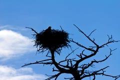 американский облыселый орел свои вахты гнездя Стоковое Изображение RF