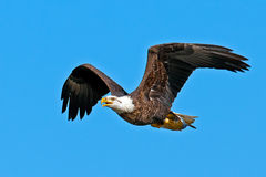 Американский облыселый орел Стоковые Изображения