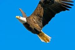 Американский облыселый орел Стоковое Изображение