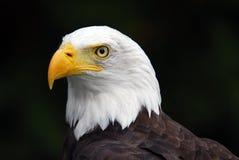 американский облыселый орел Стоковая Фотография