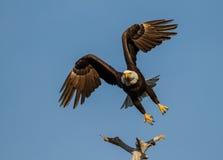 Американский облыселый орел принимая  Стоковое фото RF