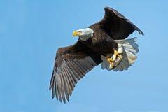 американский облыселый орел Стоковые Изображения RF