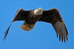 американский облыселый орел Стоковые Фотографии RF
