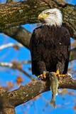 американский облыселый орел Стоковое Фото
