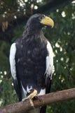 американский орел птицы Стоковые Фотографии RF