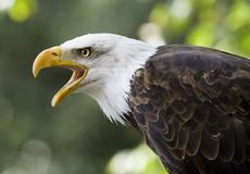 американский орел Стоковое фото RF
