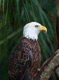 Американский орел в лесе Стоковые Фото