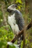 Американский орел гарпии Стоковые Фотографии RF