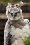 Американский орел гарпии Стоковое фото RF