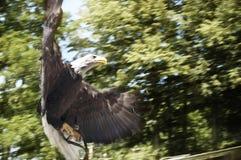 Американский орел подготавливая атаковать Стоковые Изображения RF