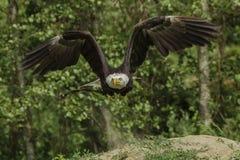 Американский орел принимая  Стоковые Изображения RF