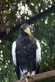 американский орел птицы Стоковые Изображения RF