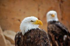 американский орел Стоковые Изображения