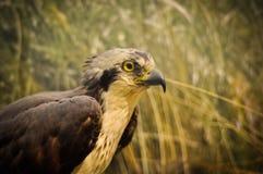 американский орел Стоковая Фотография
