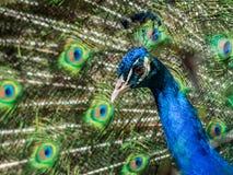 Американский павлин имеет красивую картину пятна глаза в пер Стоковая Фотография RF