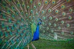 Американский павлин имеет красивую картину пятна глаза в пер Стоковые Фотографии RF