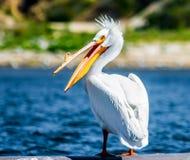 американский пеликан стоковые изображения