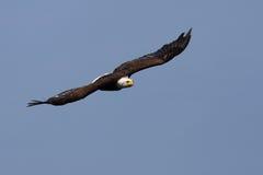 американский полет облыселого орла Стоковое Фото