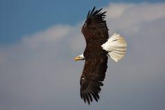 американский полет облыселого орла Стоковое Изображение
