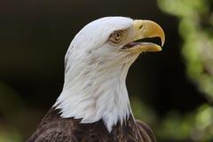 Американский портрет белоголового орлана Стоковые Изображения RF