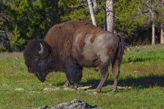 Американский портрет буйвола (зубробизона) Стоковые Изображения RF