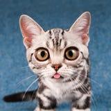 Американский портрет котенка shorthair Стоковые Изображения RF