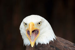 американский портрет облыселого орла Стоковые Фотографии RF