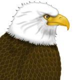 американский портрет облыселого орла Стоковое Изображение RF