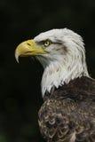 Американский портрет орла Стоковые Изображения