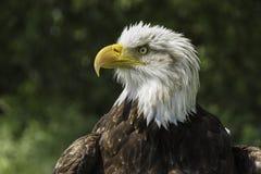 Американский портрет орла Стоковое Изображение