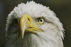 Американский портрет орла Стоковое Изображение RF