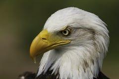 Американский портрет орла Стоковая Фотография RF