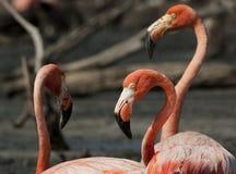 американский портрет фламингоа Стоковые Фотографии RF